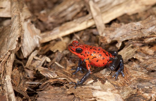Strawberry Poison-dart Frog (Oophaga pumilio) | by Gus McNab