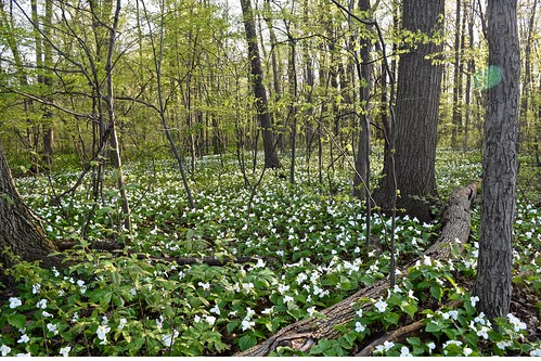 Trillium field in Michigan, mid-May | by Tatiana12