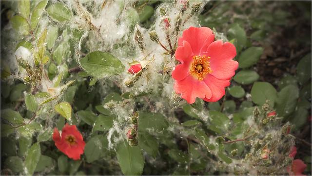 _DSC1181 Sommerschnee / Pappelblüte in Mantua / Italy - Lombardei