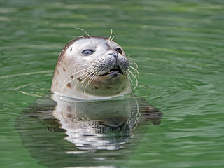 Seal peeking out of the water   by Tambako the Jaguar