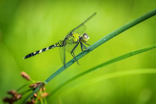 greendarner bug summer green insect macro dragonfly nature philadelphia pennsylvania unitedstates us nikon d800e