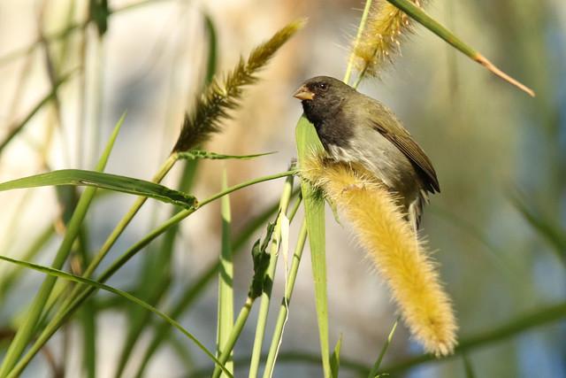Tiaris bicolor marchii ♂ Black-faced Grassquit