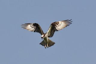 Osprey | by Art Clausing