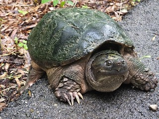 Snapping Turtle | by U.S. Fish and Wildlife Service - Midwest Region