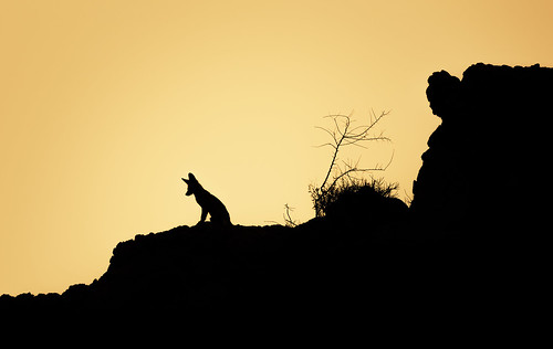 Arabian fox at dawn | by Kristian Bell