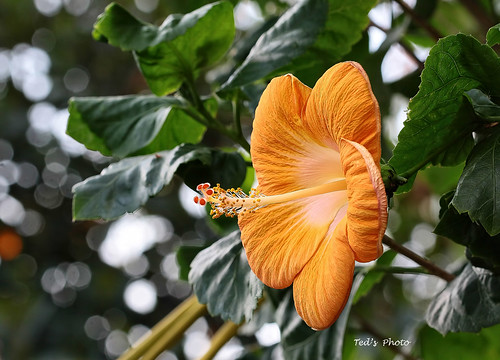 orange hibiscus 100mmf28macrolens canon70d