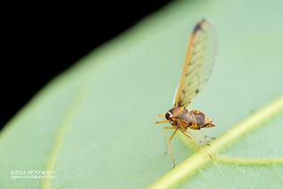 Derbid planthopper (Derbidae) - DSC_3262
