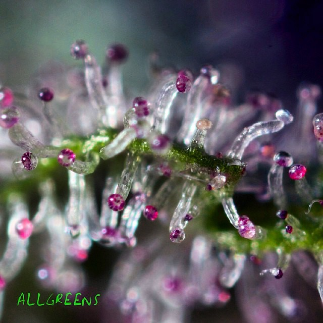 Here it is everyone! Take a look at these purple trichomes