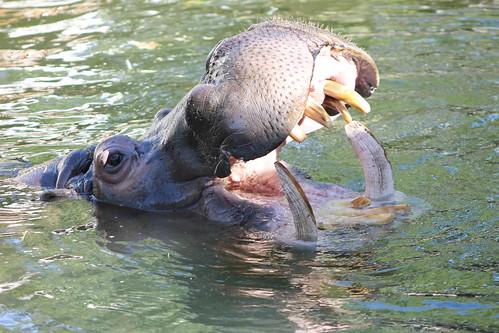 Hippopotamus at Adelaide Zoo | by mertie.