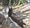 'a - Brown Booby  (Sula leucogaster) by Kanalu Chock