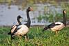 Magpie Goose - Anseranas semipalmata by arthurgrosset