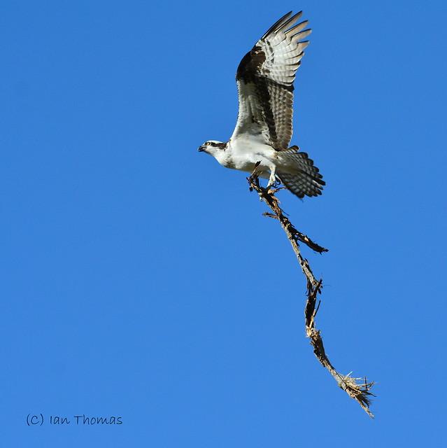 Female Osprey Starts Her Nest