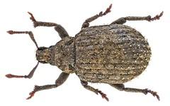 Romualdius angustisetulus (N. Hansen, 1915) Syn.: Trachyphloeus angustisetulus (N. Hansen, 1915)