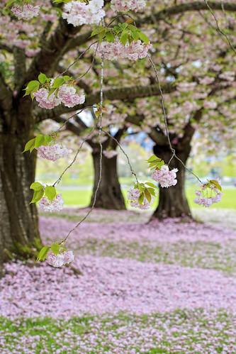 pink flower tree college vancouver cherry landscape carpet washington blossom clark