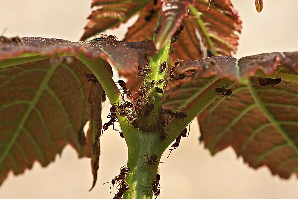 Fourmis et pucerons - Ants and aphids