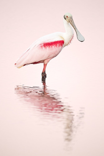 pink sunset birds island florida courtenay capecanaveral merritt merrittisland nationalwildliferefuge spoonbill roseate roseatespoonbill nwr plataleaajaja jeffdyck