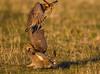 Chicken lickin' by Allan Drewitt