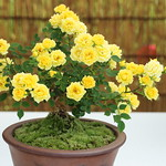 Rose bonsai