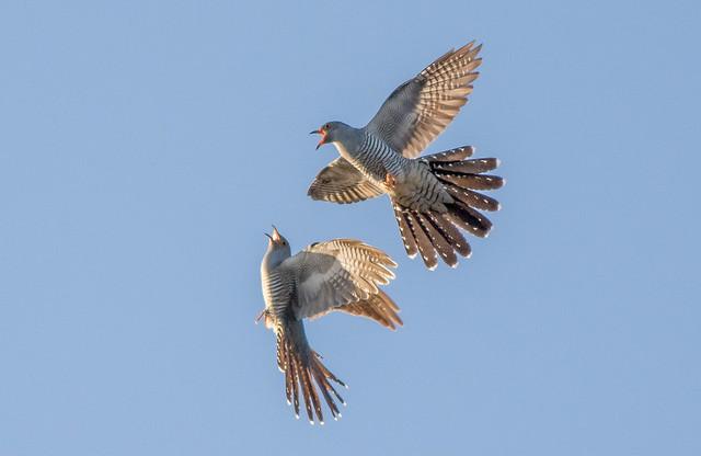 JWL1895 Cuckoos!....
