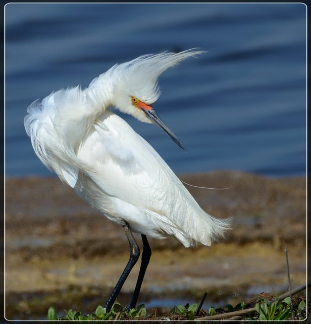 Snowy Egret in the Pink!!