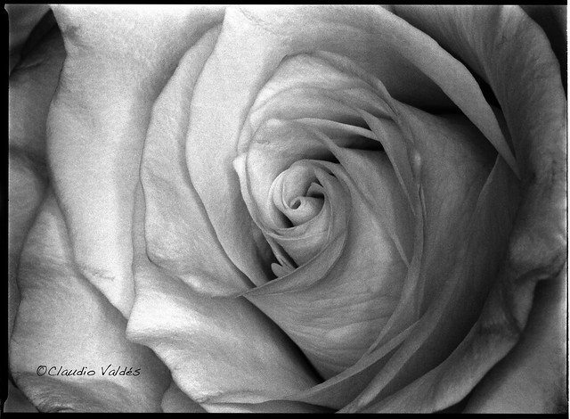 A Rose - Una Rosa