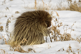 North American Porcupine | by Turk Images