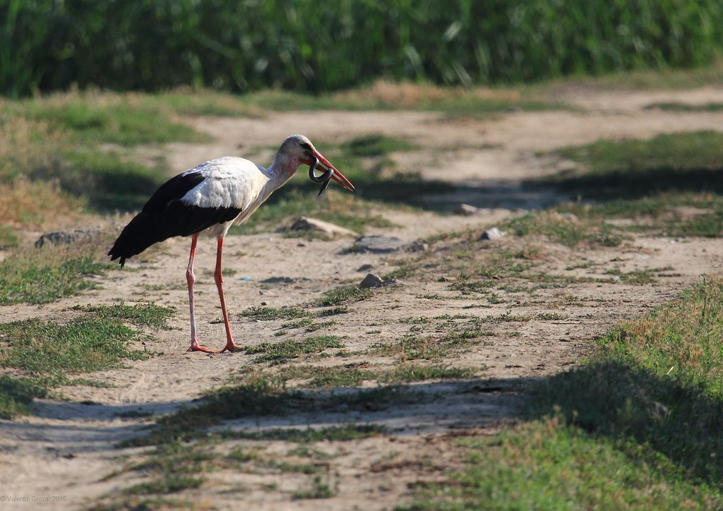 8_Stork with snake