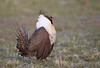 Greater Sage-grouse, Colorado by Allan Drewitt