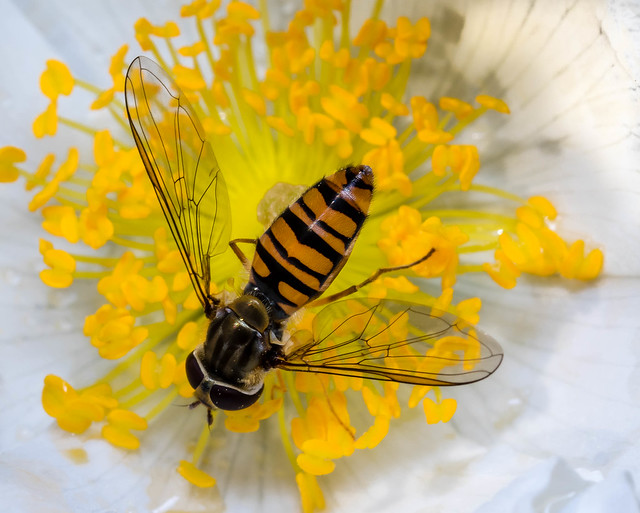 Hoverfly and the Dog Rose