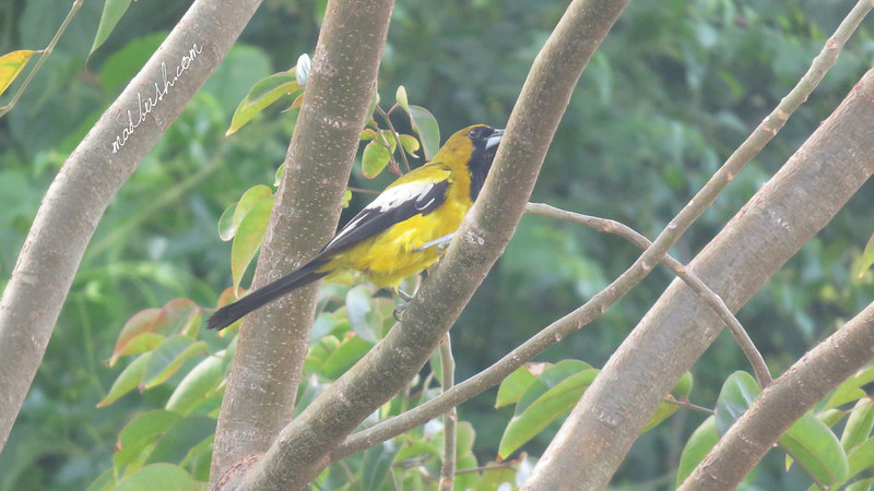 Jamaican Oriole (Icterus leucopteryx) in St.Ann's Bay