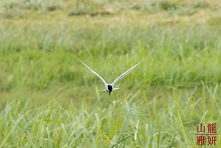 Whiskered Tern (Chlidonias hybrida) in flight | by DragonSpeed