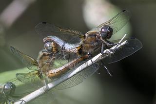 (176) Dragonfly - Scarce Chaser - Wheatfen