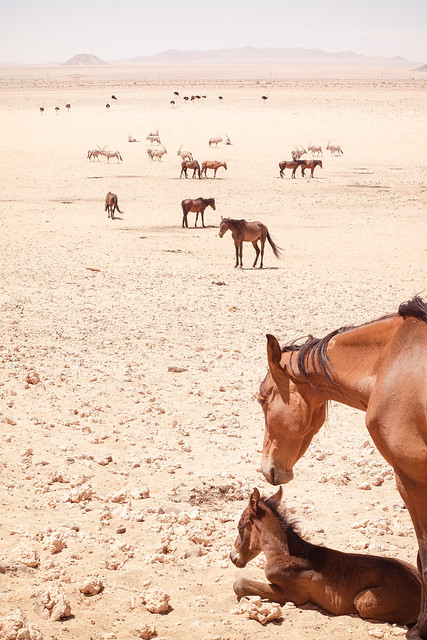 #02 Garub Wild Horses, Namibia