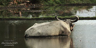 Philippine Water Buffalo | by ibarra_svd