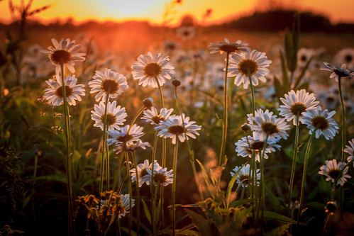 Prairie Sunset Flowers | by Mike M Martin