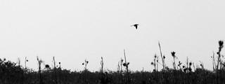 Black-necked Stilt [Himantopus mexicanus] | by magnificentfrigatebird
