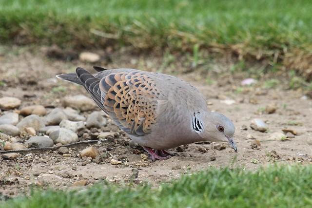 European Turtle Dove ~ Streptopelia turtur ~ Weybourne Garden (35)