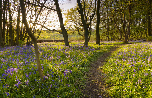 Bluebell Path at Burrough Wood