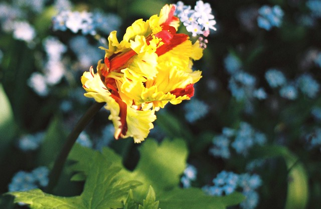 Flaming Parrot Tulip.  On film.