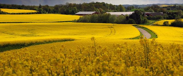 Denmark dressed in yellow - Explored