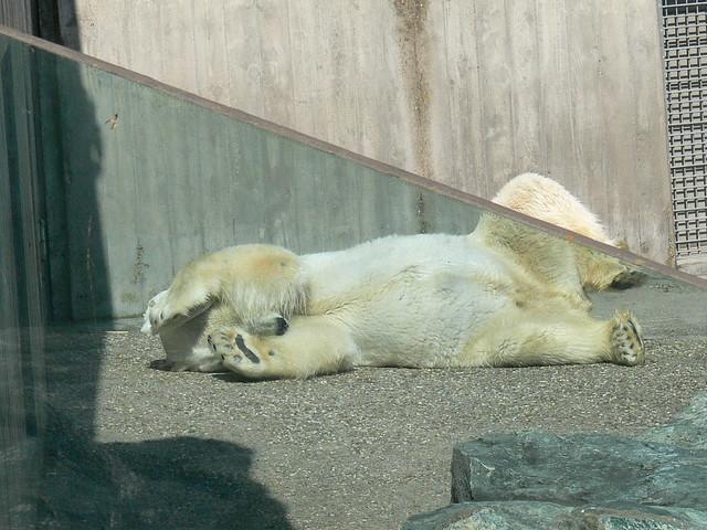 Eisbär (Ursus maritimus) P1660432