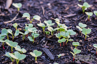 Radieschenpflanze