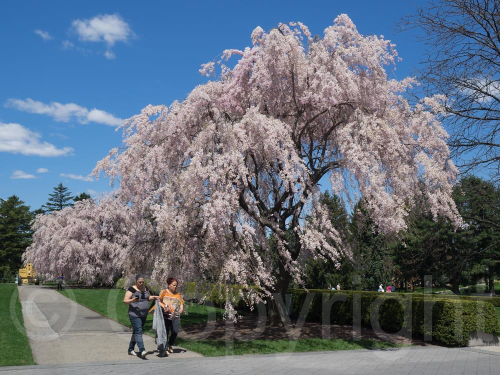 Blooming Cherry Tree At The New York Botanical Garden Bro Flickr