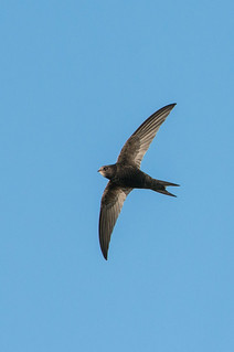 Common Swift (Apus apus) | by angus molyneux
