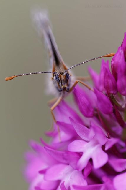 Mélitée orangée sur Orchidée sauvage