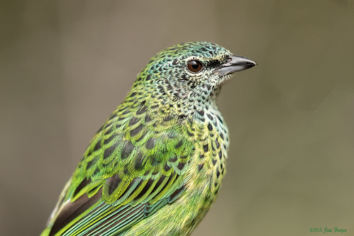 Spotted Tanager (Tangara punctata) - Hummingbird House - San Diego Zoo | by Jim Frazee