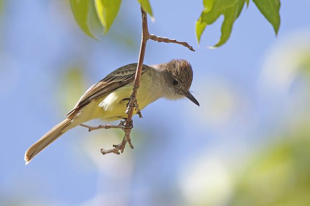Dusty-capped Flycatcher