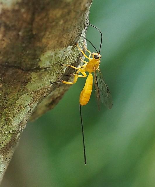 Yellow Parasitic Wasp - Ichneumonid