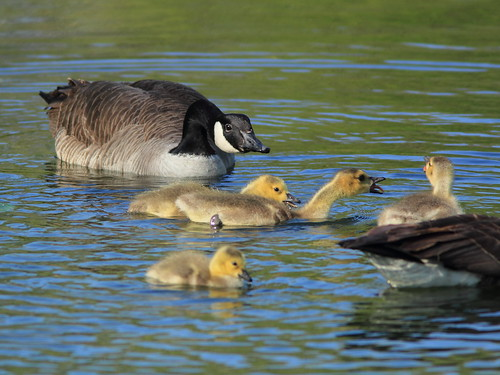 Canada Geese with goslings 01-20160505