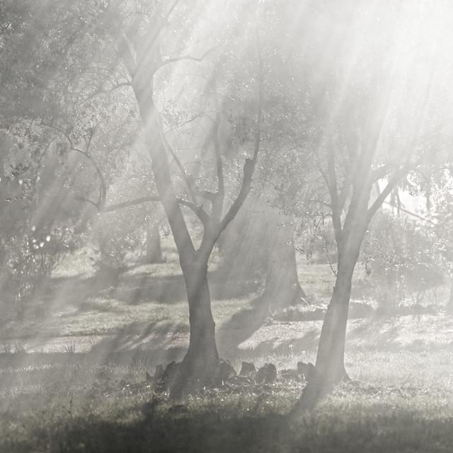 brume sur les oliviers